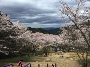 天理ダム 風致公園 桜